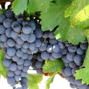 赤ワインのブドウ品種とボディは一緒に覚えよう!